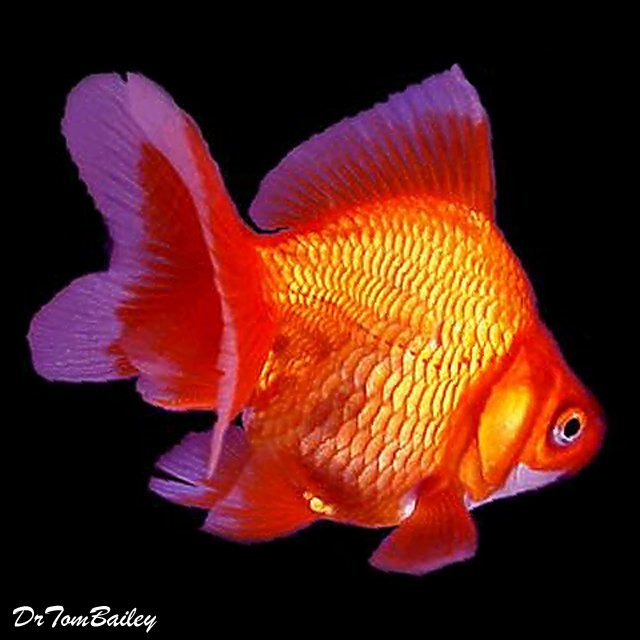 "Premium Red Ryukin Goldfish, 2.5"" to 3"" long"