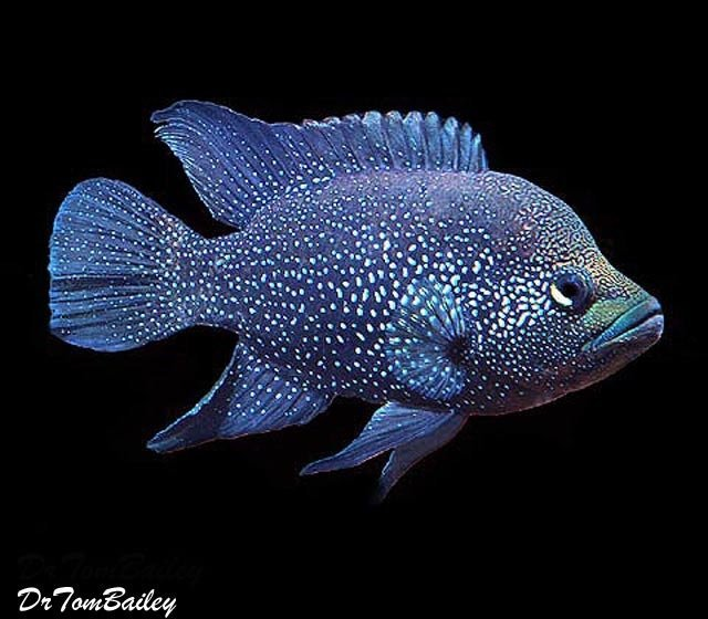 "Premium Black Diamond Polleni Cichlid, 4"" to 5"" long"
