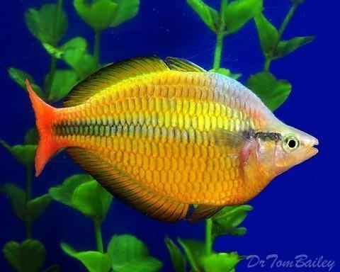 Premium Lake Tebera Yellow Rainbowfish, 1