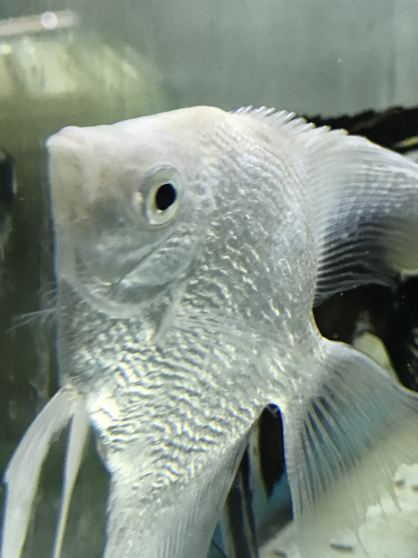 "WYSIWYG Premium Platinum Pearlscale Angelfish, 4"" to 4.5"" tall"