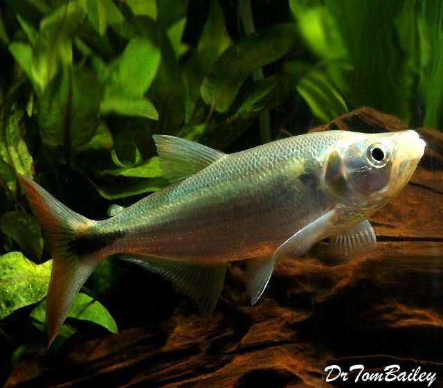 "Premium, Rare, Red Tail Sabalo Barracuda, 7"" to 8"" long, thick now and eating lots of pellets."