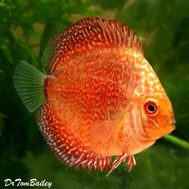 Premium, Rare, New, Red Eagle Discus, 2