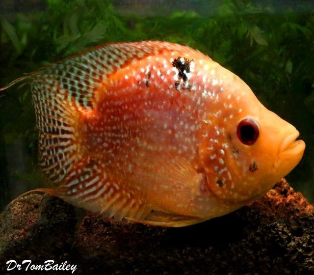 Premium Very Rare and New, Deep Body Red Texas Flowerhorn Cichlid, 4