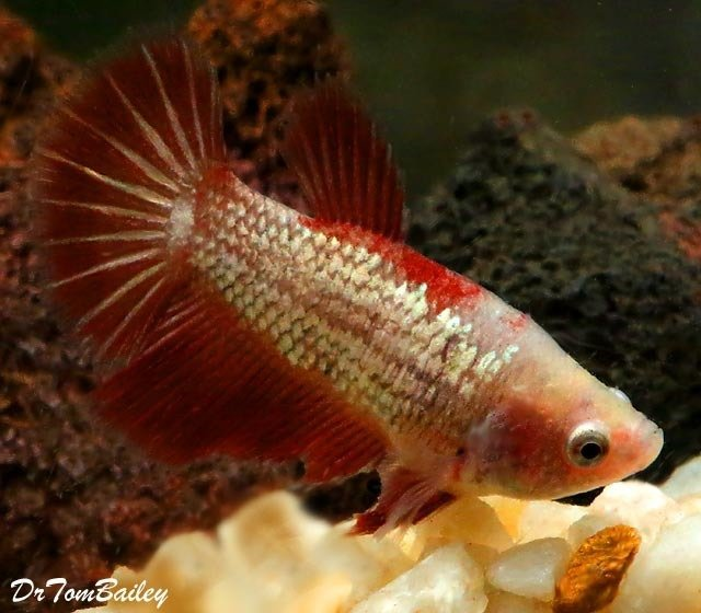 "Premium FEMALE Rare Assorted Dragonscale Betta Fish, 2"" to 2.2"" long"