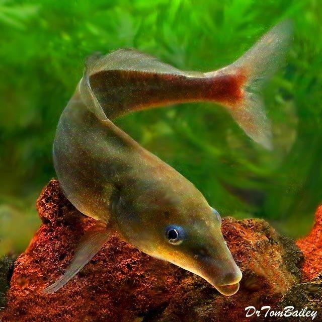 "Premium Rare Baby Dolphin Mormyrid, 3"" to 4"" long"