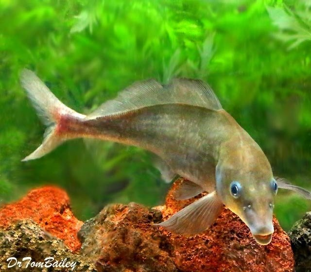 "Premium Rare Baby Dolphin Mormyrid, 6"" to 7"" long"