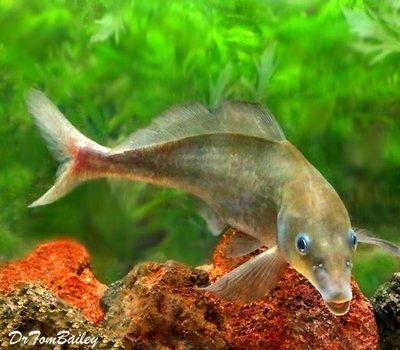 Premium WILD, Rare Baby Dolphin Mormyrid, Size: 6