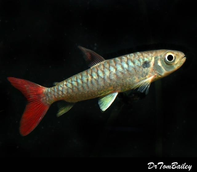 "Premium Redtail Chalceus, 4"" to 5"" long. Tails getting redder!"