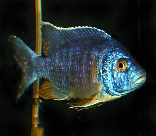 "Premium Lake Malawi Blue Male Peacock Cichlids, 3"" to 3.5"" long"