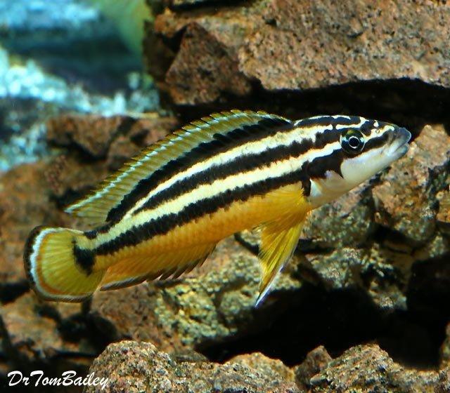 """Premium Juli Ornatus Cichlid, 1"""" to 1.5"""" long, from Lake Tanganyika"""