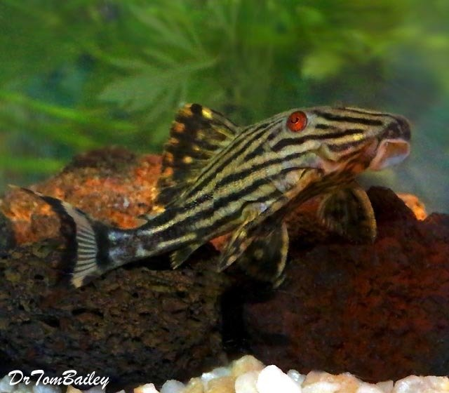 Premium, Wild, New, Broken Line Royal Pleco, L191, 3