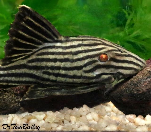 Premium, Rare, WYSIWYG, Wild, New, Royal Green Pleco, L190, 4.5