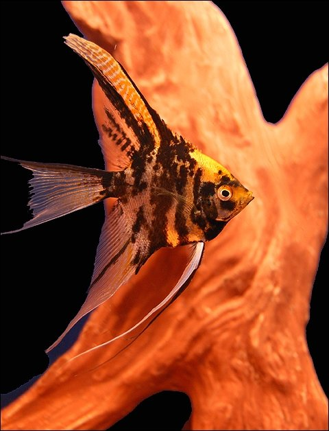 "Premium Gold Marbled Veiltail Angelfish, 2.5"" to 3"" tall"