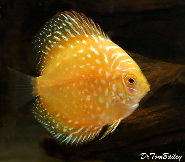 "Premium New Yellow Pigeon Discus, 2"" to 2.5"" long"