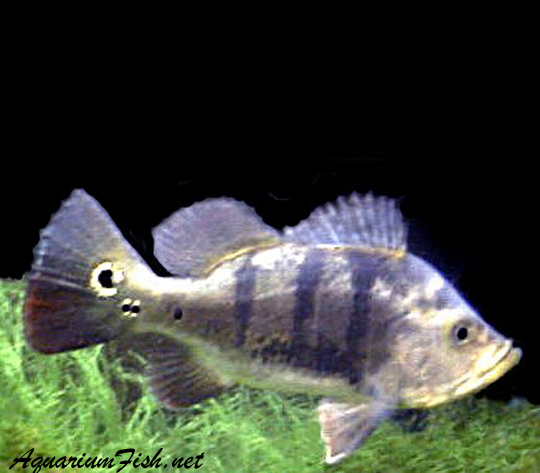 Premium Ocellaris Peacock Bass Cichlid, 1.5