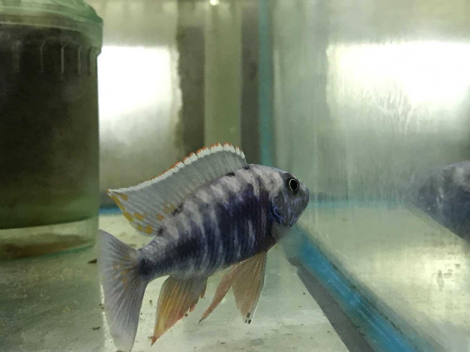 "Premium Lake Malawi Blue Male Peacock Cichlid, 3.5"" to 4.5"" long"