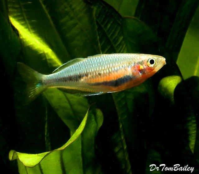 """Premium, Rare and New, Laticlavia Rainbowfish, 3.5"""" to 4"""" long"""