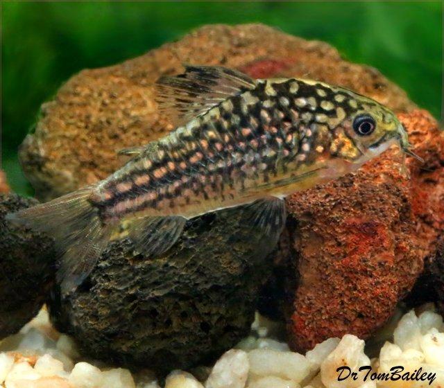 "Premium New, Nanus Corydoras Catfish, 1"" to 1.5"" long"