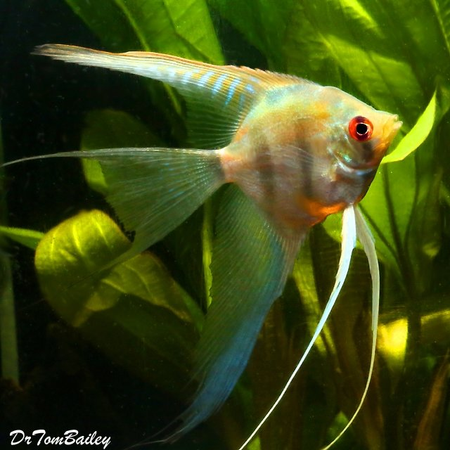 """Premium Silver Veiltail Angelfish, 2.5"""" to 3"""" tall"""