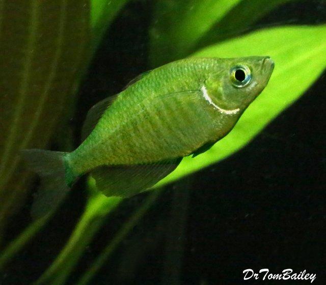 """Premium Emerald Rainbowfish, 1.5"""" to 2"""" long"""