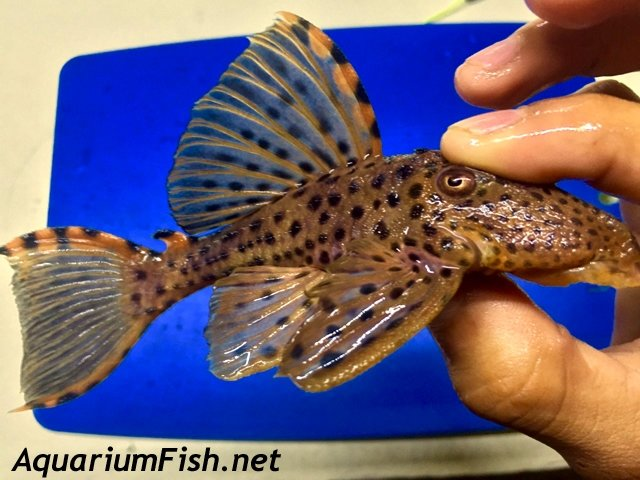 "Premium, WYSIWYG, Wild, Rare Three Beacon Plecostomus, L091, 4.5"" to 5"" long"