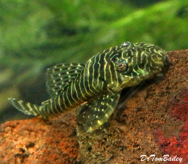 Premium, Wild, New, and Rare, Tigris Pleco, L257, 2.5