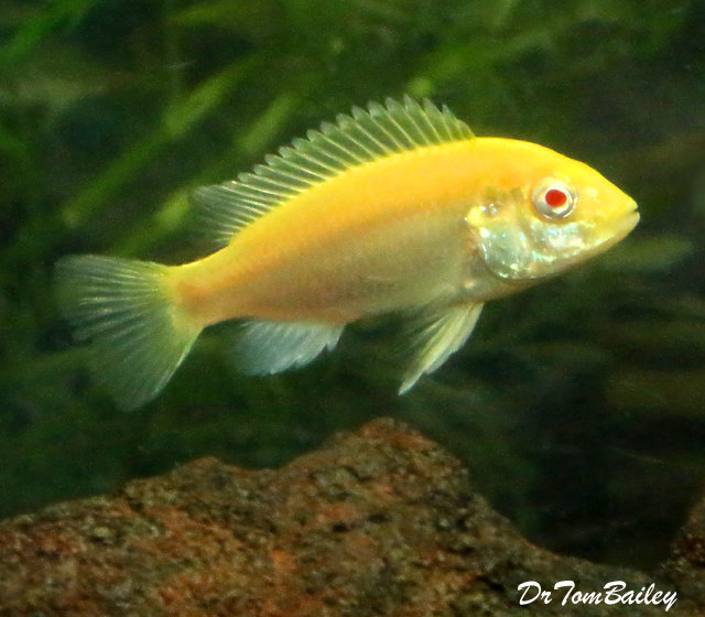 "Premium Lake Malawi Albino Electric Yellow Cichlid, 2.5"" to 3"" long"