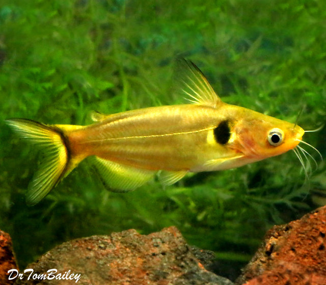 "Premium Golden Sun Catfish, 6"" to 7"" long"