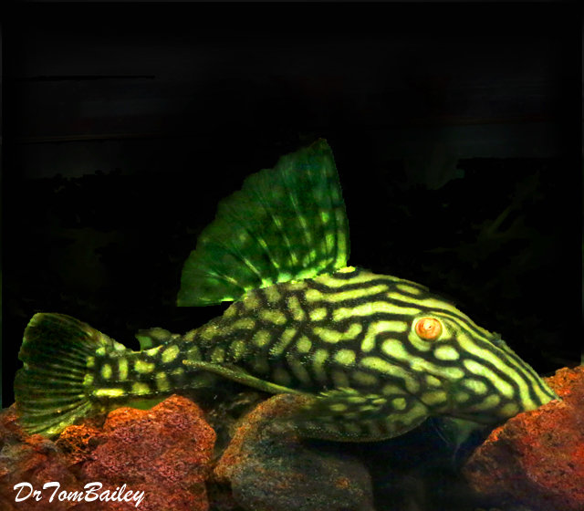 "Premium, Wild, New,  Spotted Royal Pleco, 3"" to 3.5"" long"