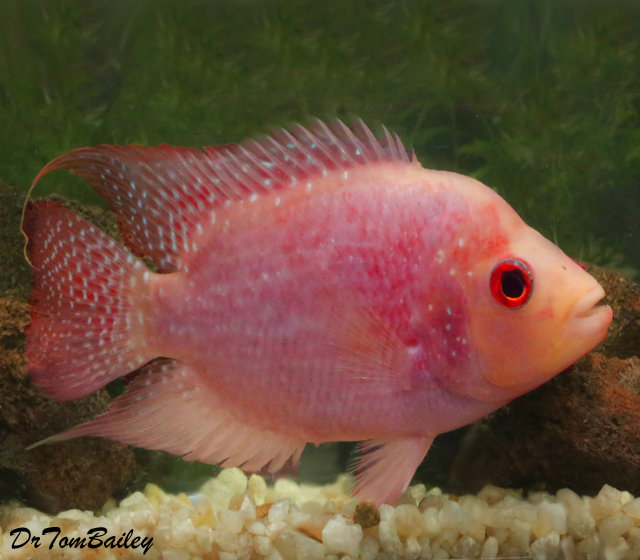 "Premium Rare and New Red Texas Flowerhorn Cichlid, 5"" to 6"" long"