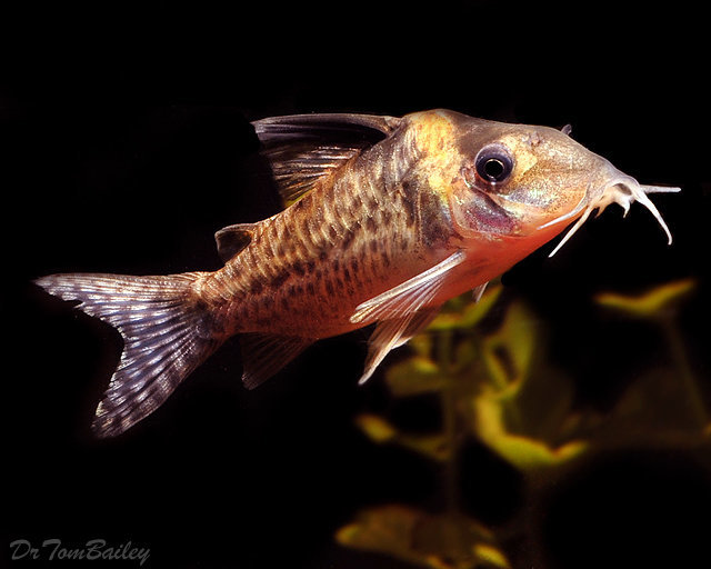 "Premium Agassizii Corydoras Catfish, 1"" to 1.5"" long"