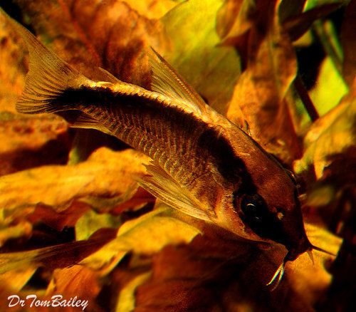 "Premium Arcuatus Skunk Corydoras Catfish, 1"" to 1.5"" long"