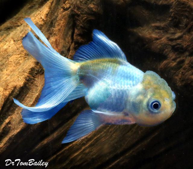Premium Rare Blue Oranda Goldfish, 3