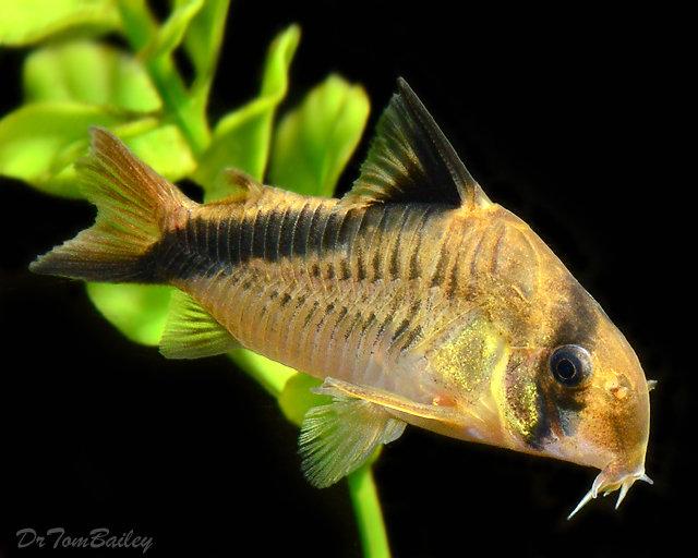 "Premium False Bandit Melini Corydoras Catfish, 1"" to 1.5"" long"