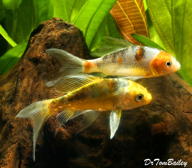 """Premium Assorted Butterfly Koi, 3"""" to 3.5"""" long"""
