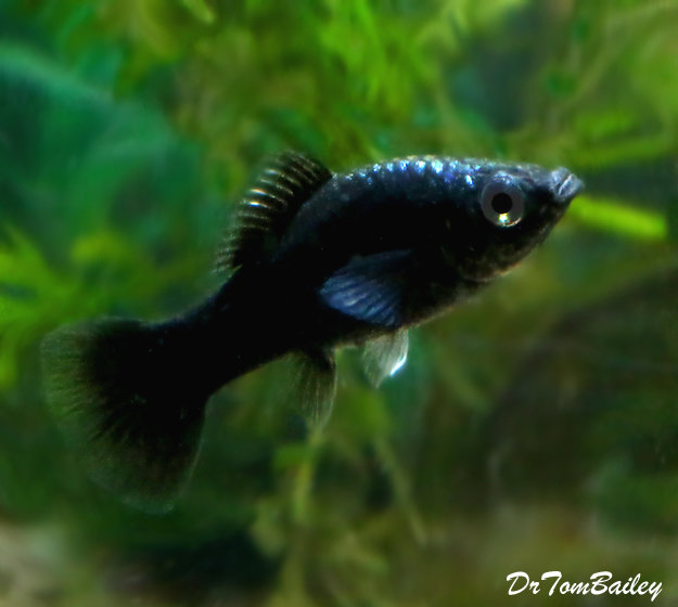 "Premium Black Molly, Size: 1"" to 1.5"""