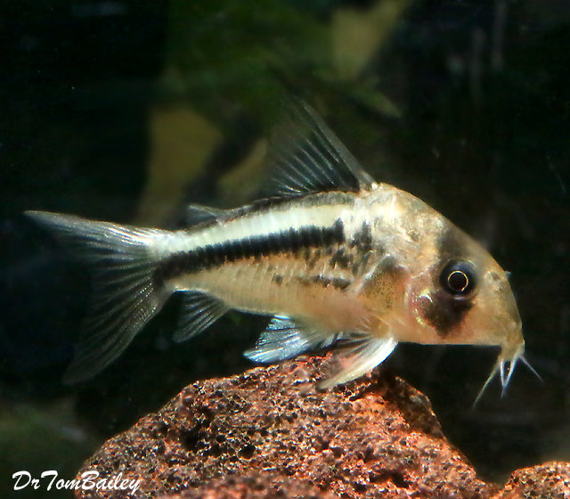 "Premium Axelrodi Corydoras Catfish, 1"" to 1.5"" long"