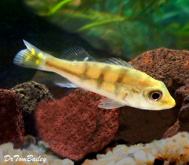 "Premium Rare Monoculus Peacock Bass Cichlid, 3"" to 3.5"" long now, grows much bigger"