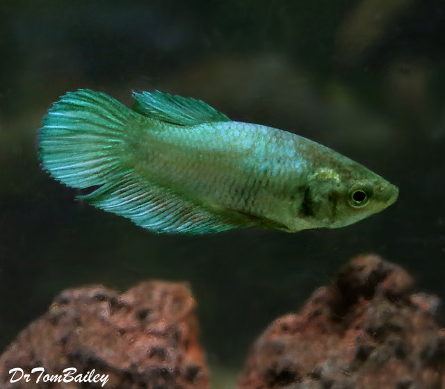 Premium FEMALE Green Betta Fish, 1
