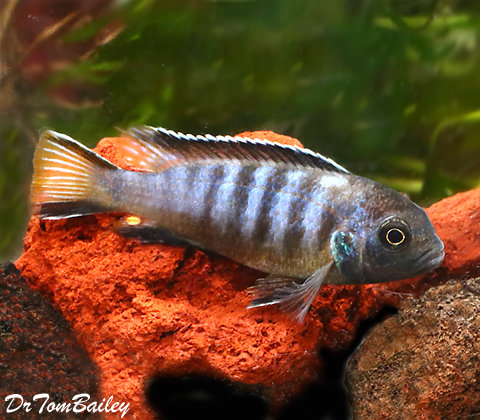 Premium, New, and Exciting, Chewere Elongatus Mbuna Cichlid, 2.5