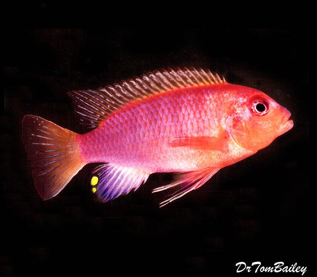 "Premium Lake Malawi Aurora Mbuna Cichlid, 1.5 to 2"" long"