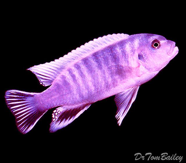 "Premium Rare Lake Malawi Grafi Mbuna Cichlid, 1.5"" to 2"" long"