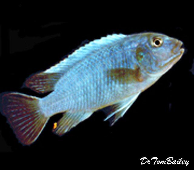 "Premium Rare Lake Malawi Jacksoni Mbuna Cichlid, 1.5"" to 2"" long"
