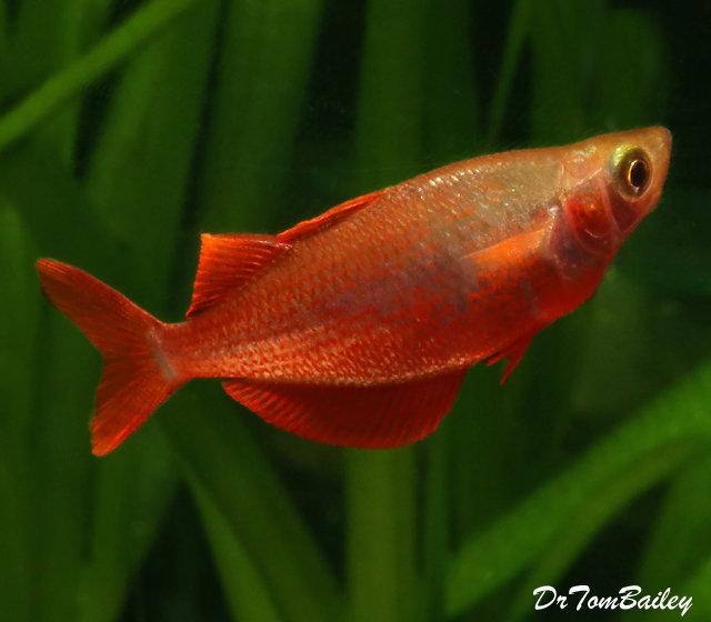 Premium Millennium Rainbowfish, 2