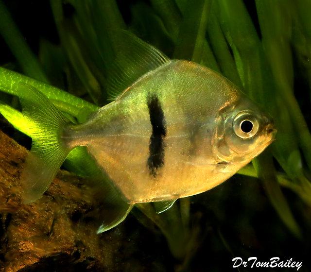"Premium Rare Black Bar Silver Dollar Fish, 3"" to 3.5"" long"
