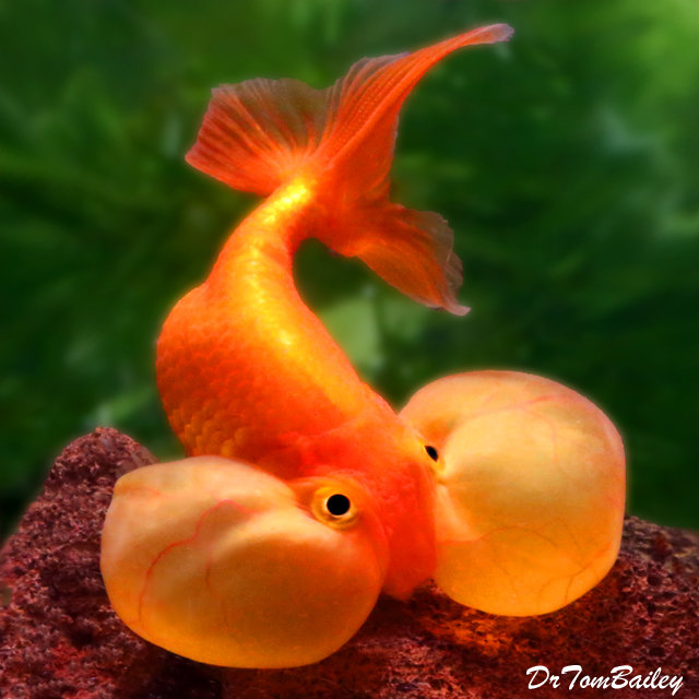 "Premium Red Bubble-Eye Goldfish, Size: 2.5"" to 3"""