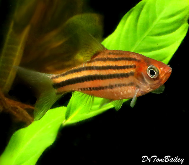 "Premium New Lineatus Barb, 1.5"" to 2"" long"