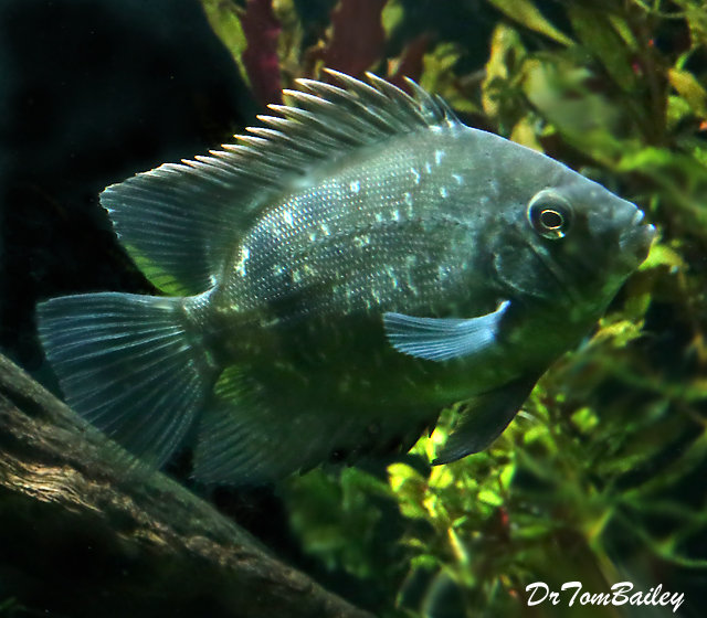 "Premium Rare New Panda Uaru Cichlid, 1.5"" to 2"" long"