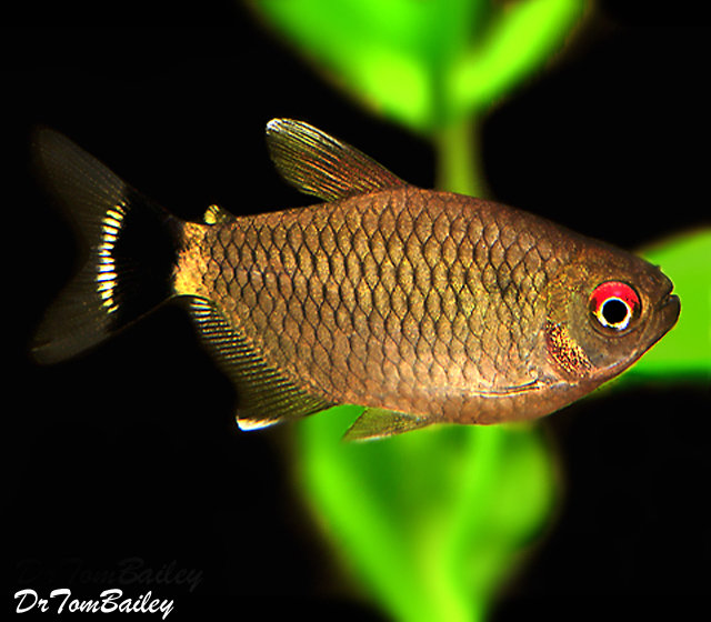 Premium Red Eye Tetra, 1