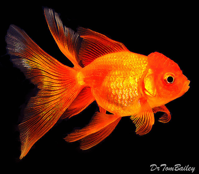 "Premium Red Oranda Goldfish, 2"" to 2.5"" long"